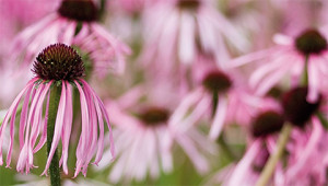 Pale-purple coneflower - Echinacea pallida