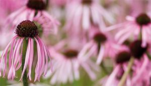 Sonnenhut - Echinacea pallida