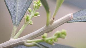 Olivenbaum - Olea europaea