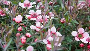 Manuka - Leptospermum scoparium