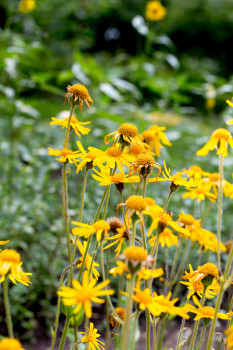 Guided tour of the medicinal herb garden. Lecture on arnica