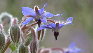 Borage - Borago officinalis
