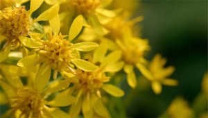 Goldenrod - Solidago virgaurea