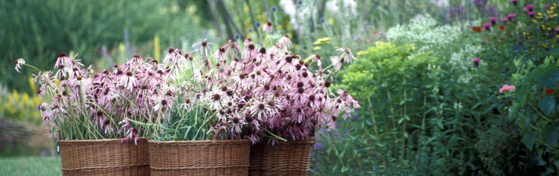 Dr. Hauschka Medicinal herb garden with harvested pale-purple coneflower