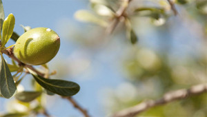 Argan tree - Argania spinosa