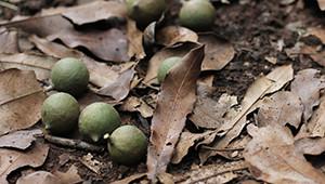 Dr.Hauschka Macadamia nuts from Kenya