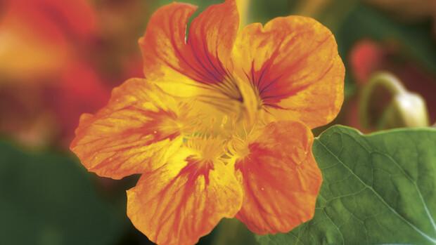 Kapuzinerkresse – Heilpflanze von Dr. Hauschka
