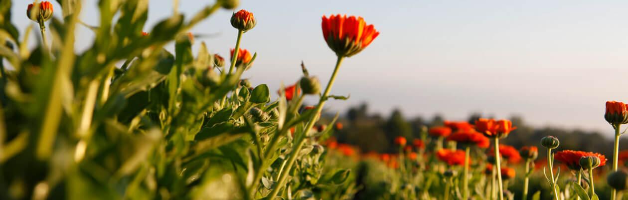 Dr.Hauschka Nach der Sonne: pflegende Körperlotion, fördert anhaltende Bräune