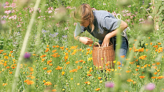 Dr. Hauschka medicinal herb garden during harvest of Calendula