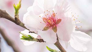 Almond Tree - Prunus dulcis