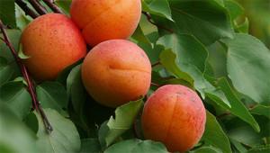 Aprikose - Prunus armeniaca