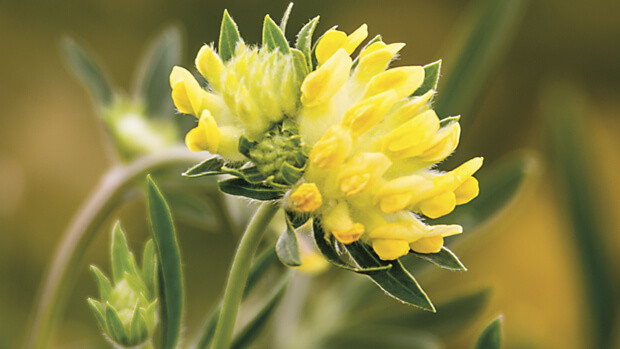 Wundklee – Heilpflanze von Dr.Hauschka