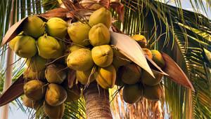 Kokospalme - Cocos nucifera