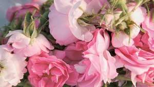 Rosenblüten der Damaszener Rose