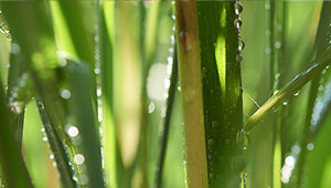 Lemon Grass - Cymbopogon citratus