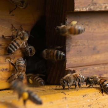 Führung durch den Heilpflanzengarten. Vortrag über Bienen