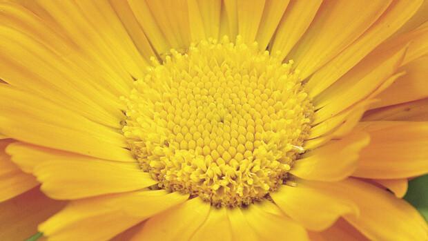 Ringelblume – Heilpflanze von Dr. Hauschka